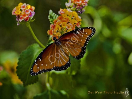 Monarch Butterfly- #31442